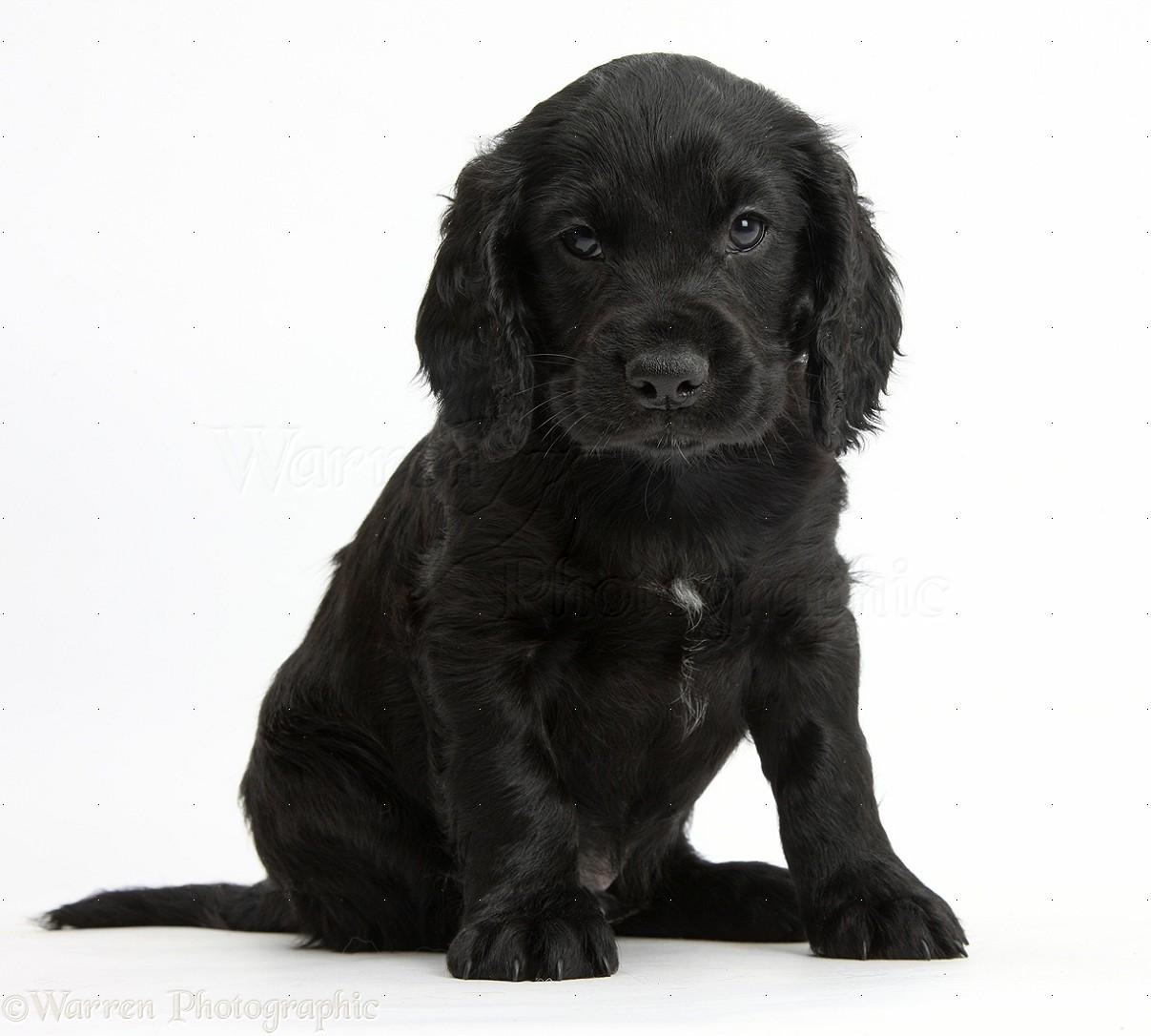 Black cocker spaniel puppies