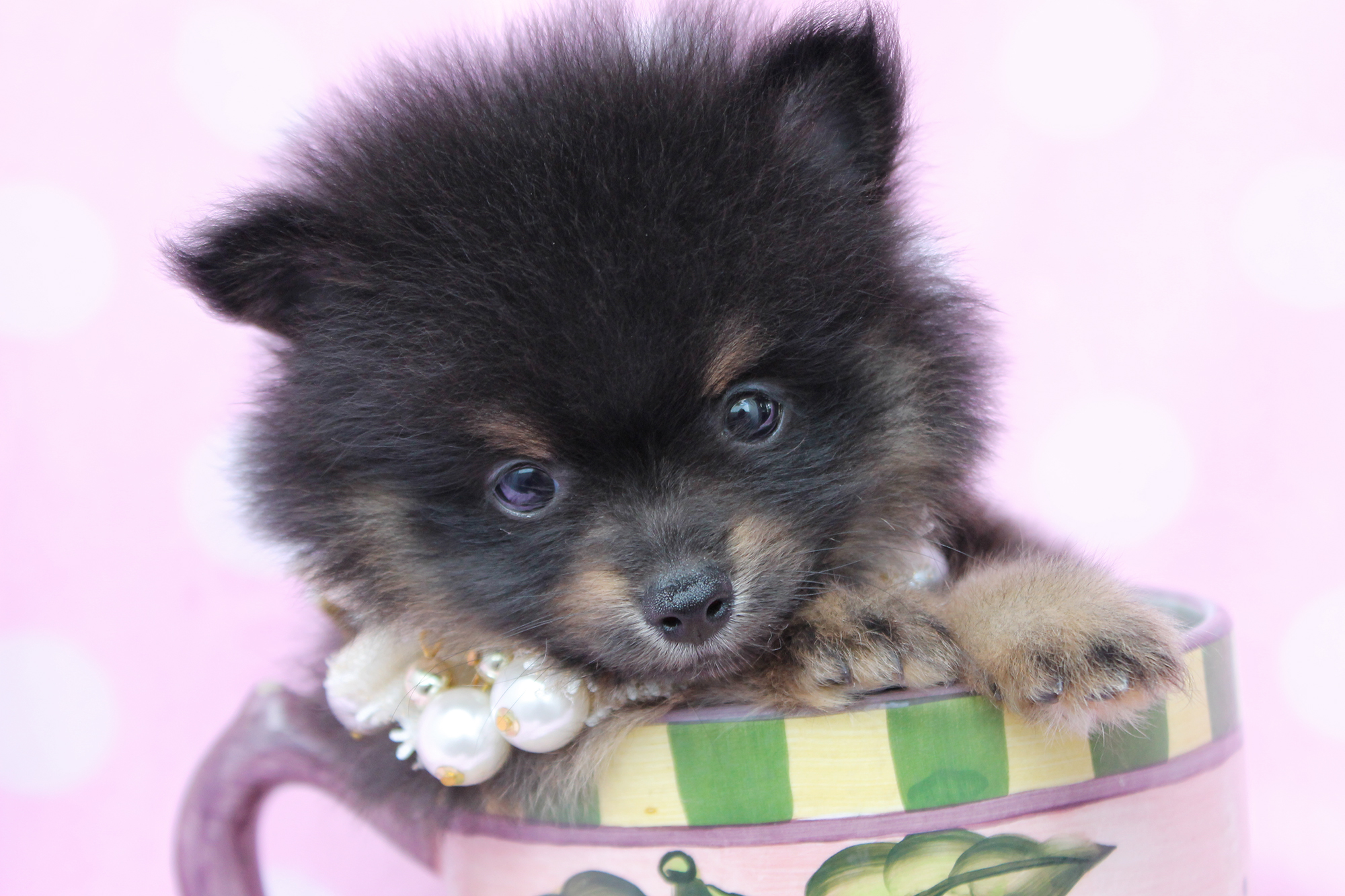 Pomeranian black and brown