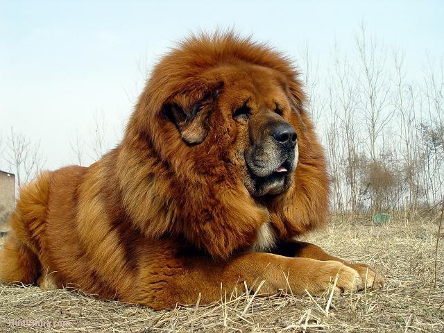 Dog mastiff tibetan