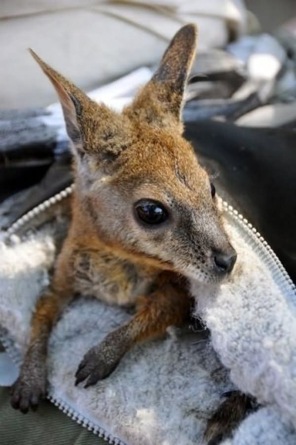 Cute baby kangaroo
