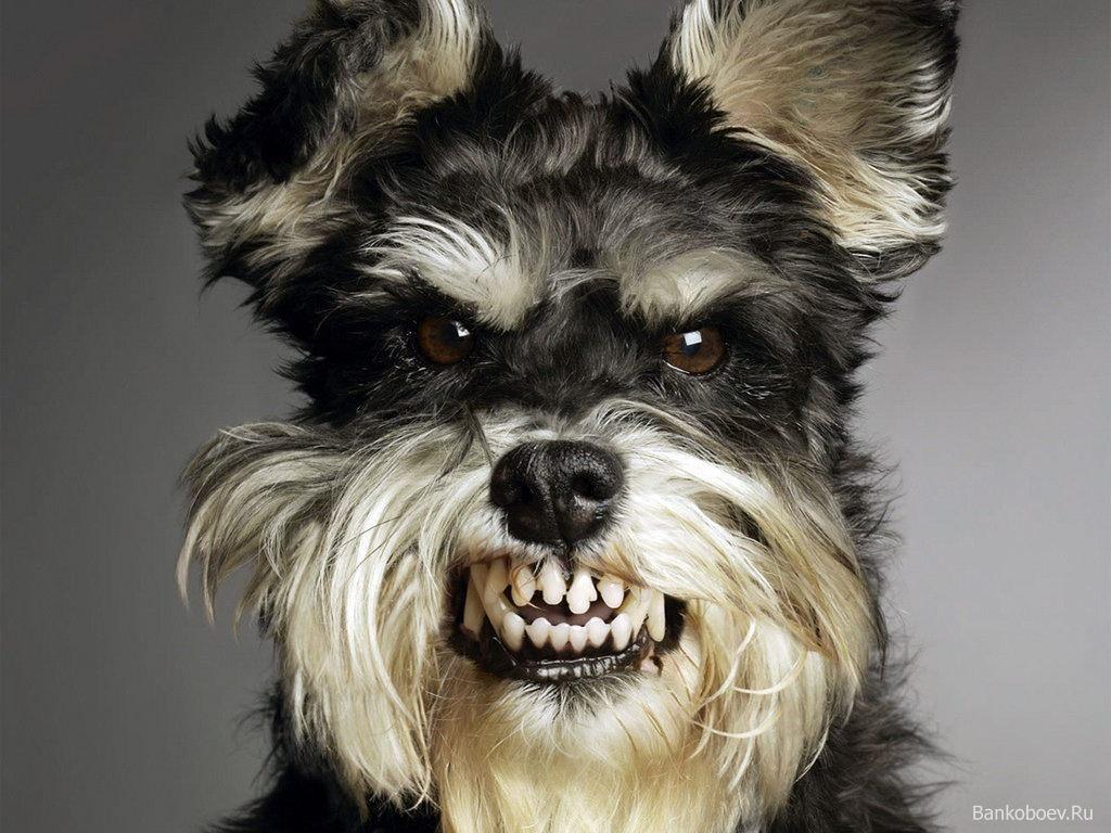 Cute growling dog
