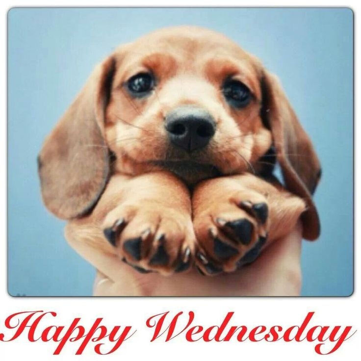 Cute Little Puppy Wishes You Happy Wednesday