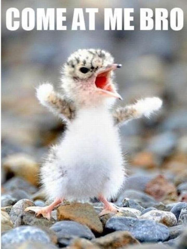Come At Me Bro Funny Bird