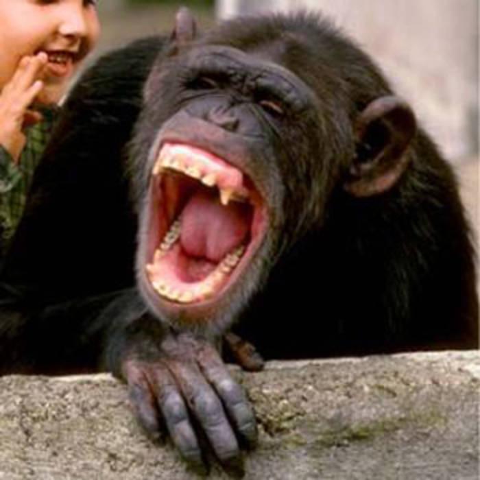 Chimpanzee Funny Laugh your mom best comeback ever funny laugh meme,Funny Laughing Meme