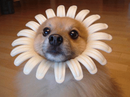 Dog in sunflower funny face pet voltagebd Image collections