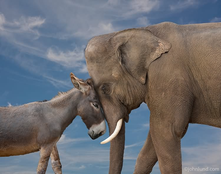 Donkey and Elephant Head to Head Funny Picture elephant running with shoes funny gif