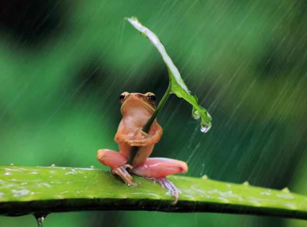 Frog With Leaf Umbrella Funny Nature Picture