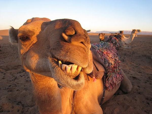 Funny Camel Closeup Face Image