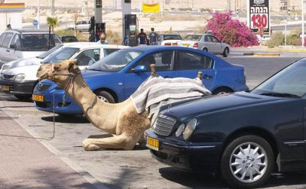 Funny Camel In Car Parking