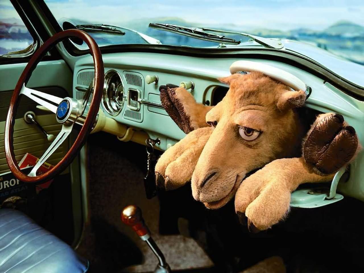 Funny Camel In Car