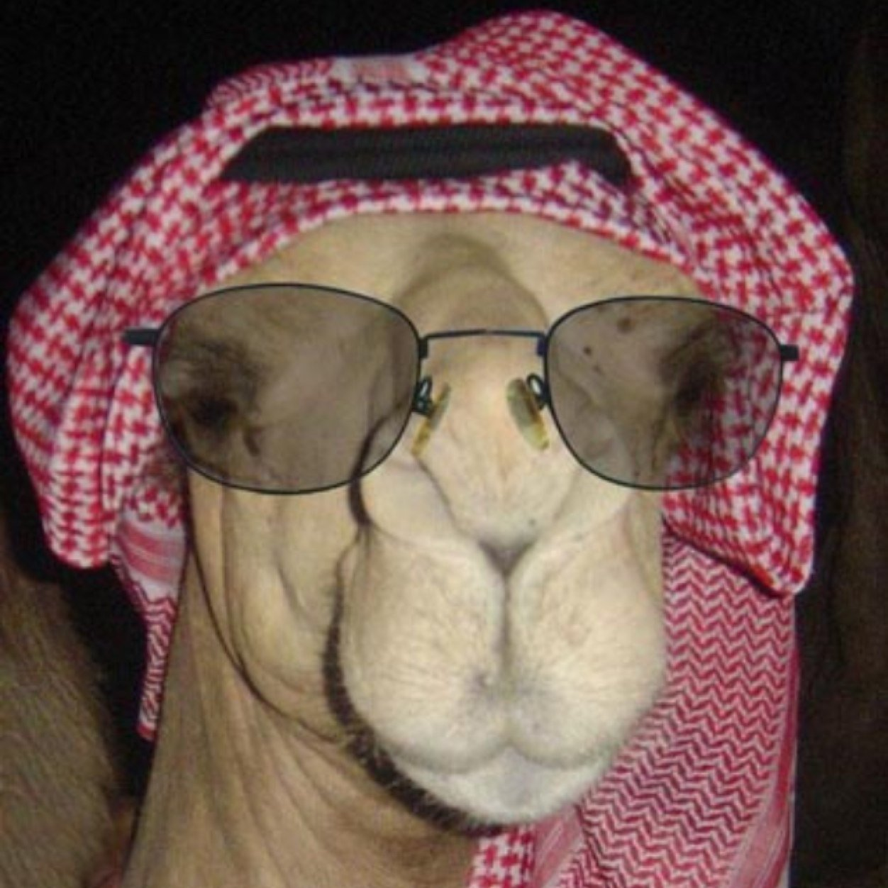 Funny Camel In Sheikh Dress