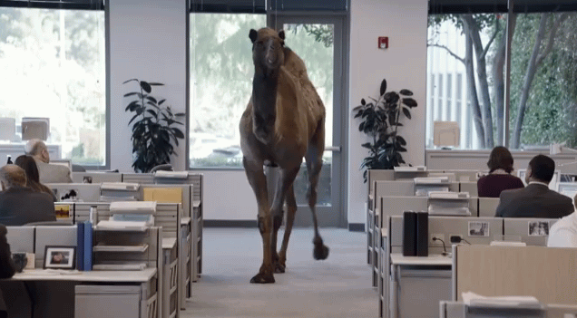 Funny Camel In The Office