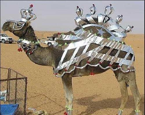 Funny Camel King Picture