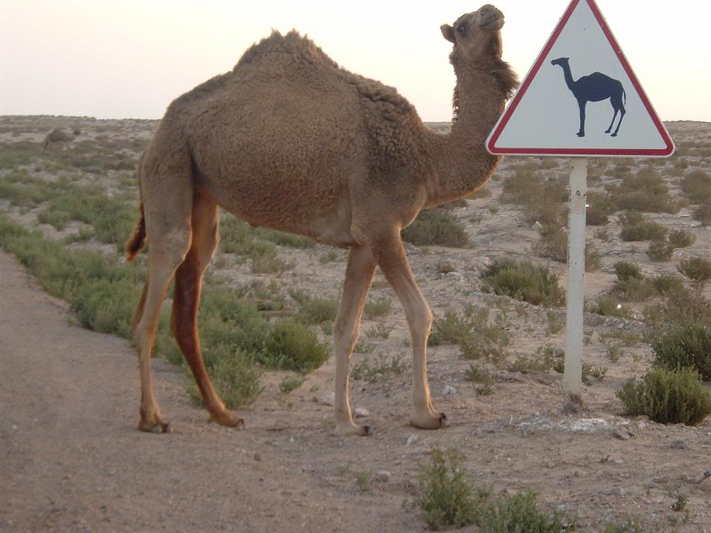 Funny Camel Sign Board