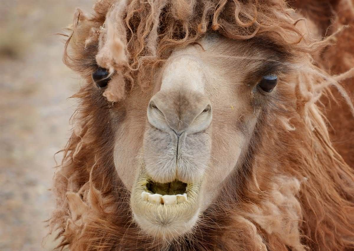 Funny Camel With Long Hair