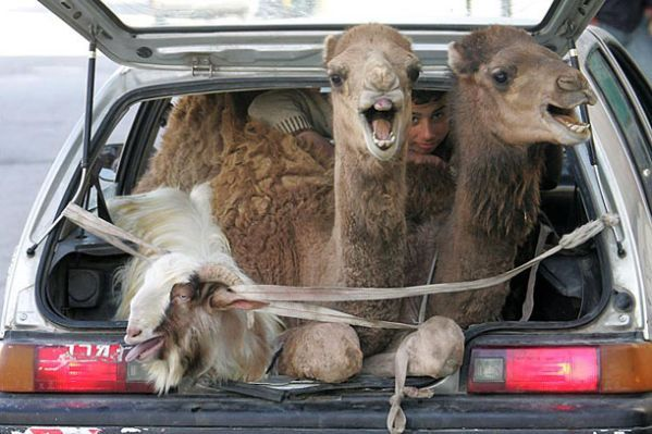 Funny Camels In Back Of Car