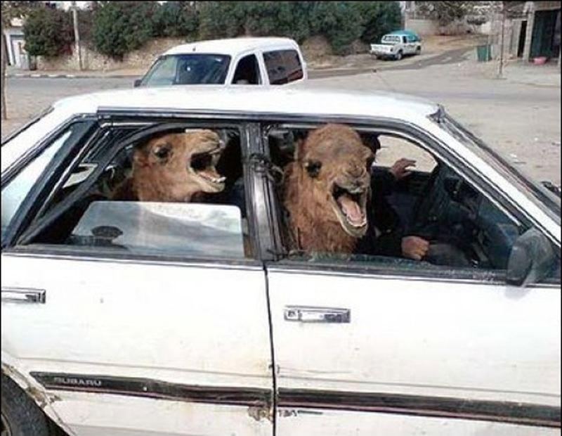 Funny Camels In Car