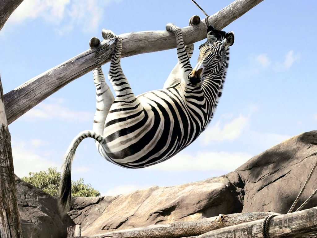 27 most funny zebra pictures
