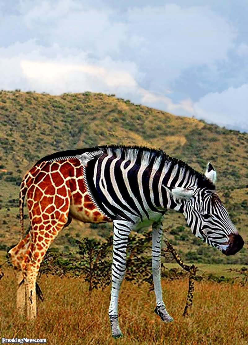 zebras and giraffes - photo #24
