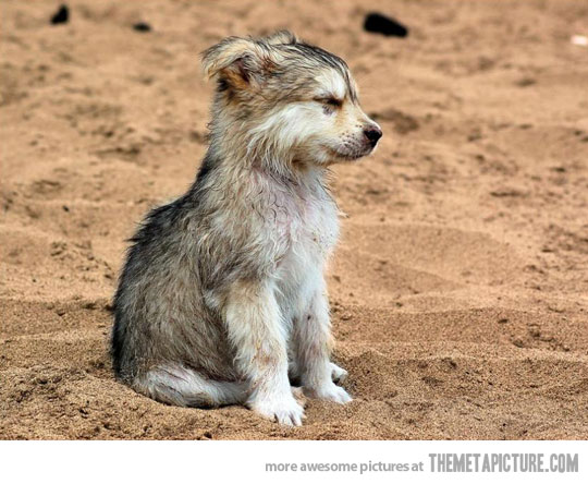 funny baby wolf picture