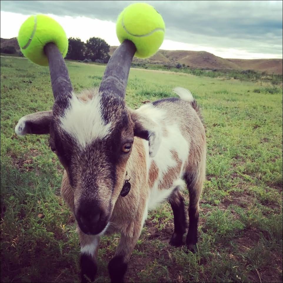 27 most funny goat pictures