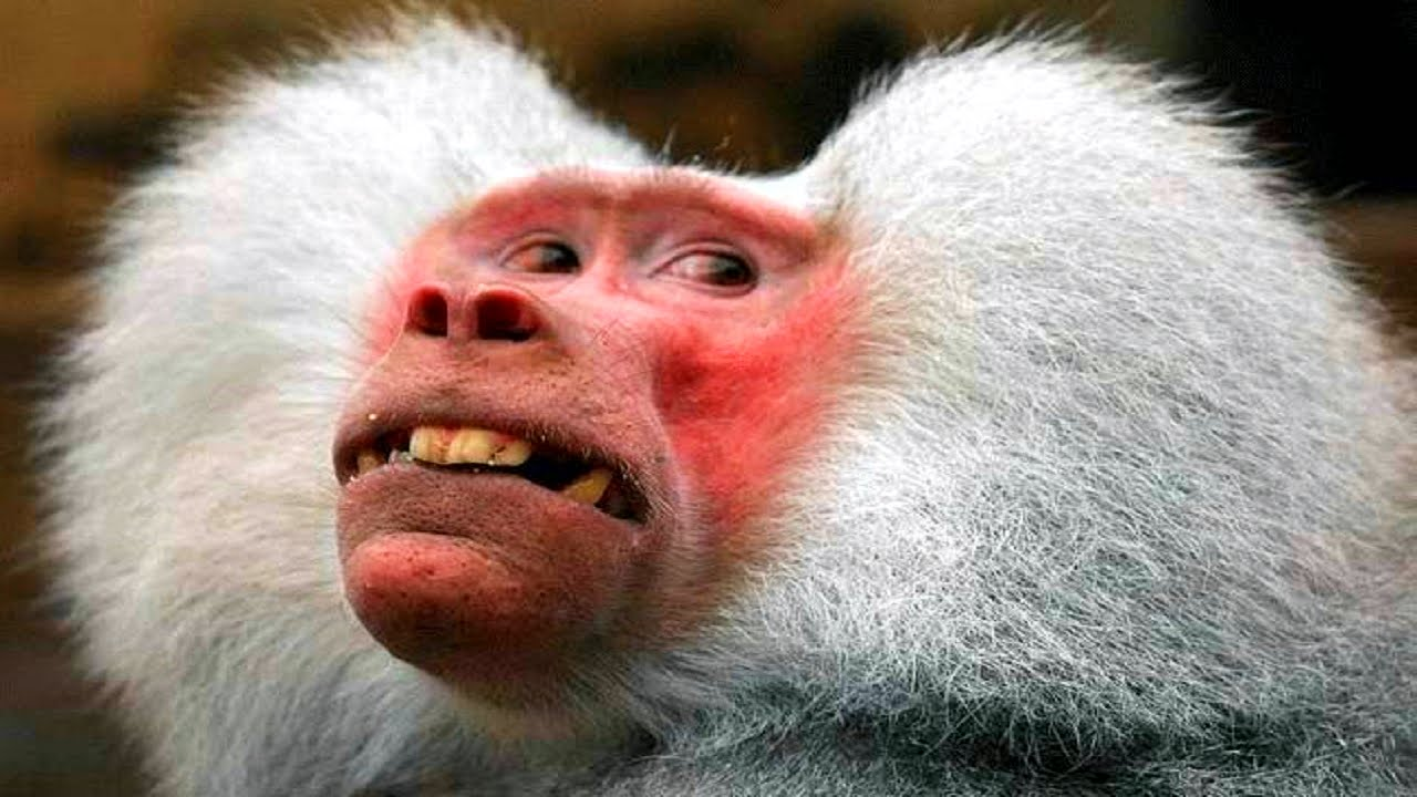 Funny Monkey Making Weird Face