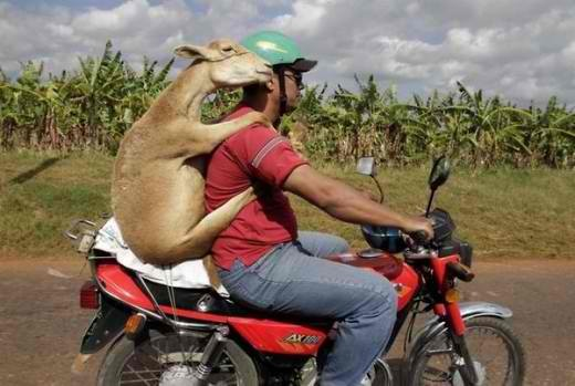 """Man-Riding-Bike-And-Goat-On-His-Back-Funny-Image-For-Whatsapp - """"Whither thou goest, I will go...""""  - Photos Unlimited"""