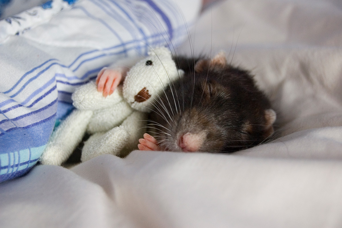 Cute Mouse With Teddy Bear Funny Picture