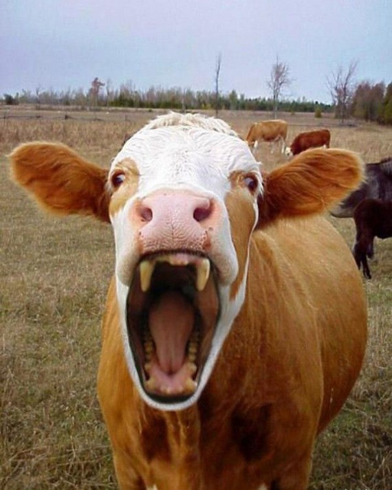 Funny Pictures Of Cows Angry Face Funny Cow P...