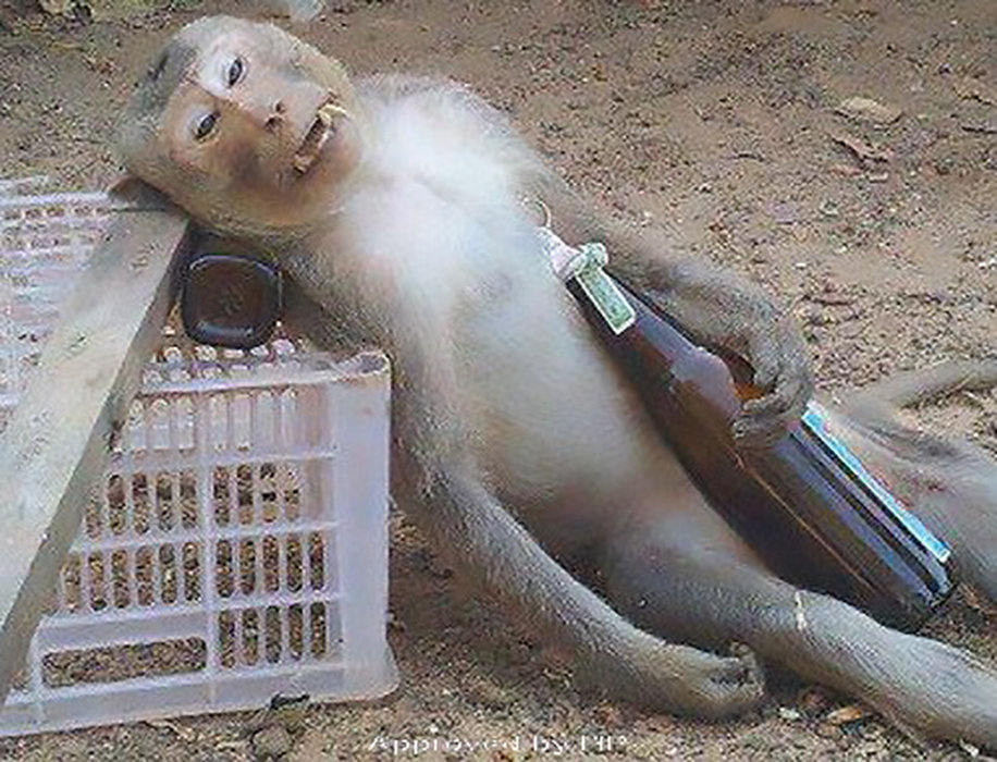 Drunk Monkey Funny Picture