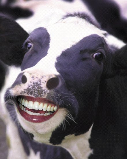 Image result for picture of funny cow