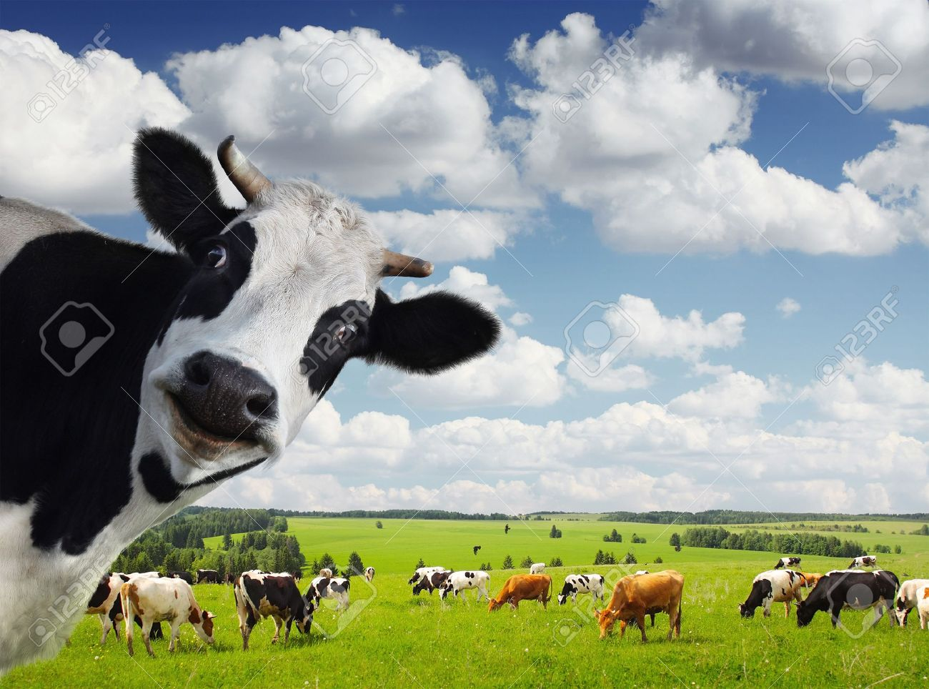 Funny cow smiling - photo#27