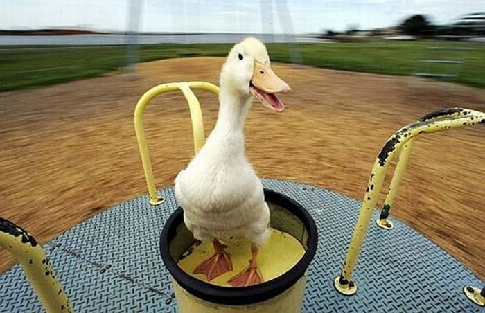 31 Very Funny Duck Pictures