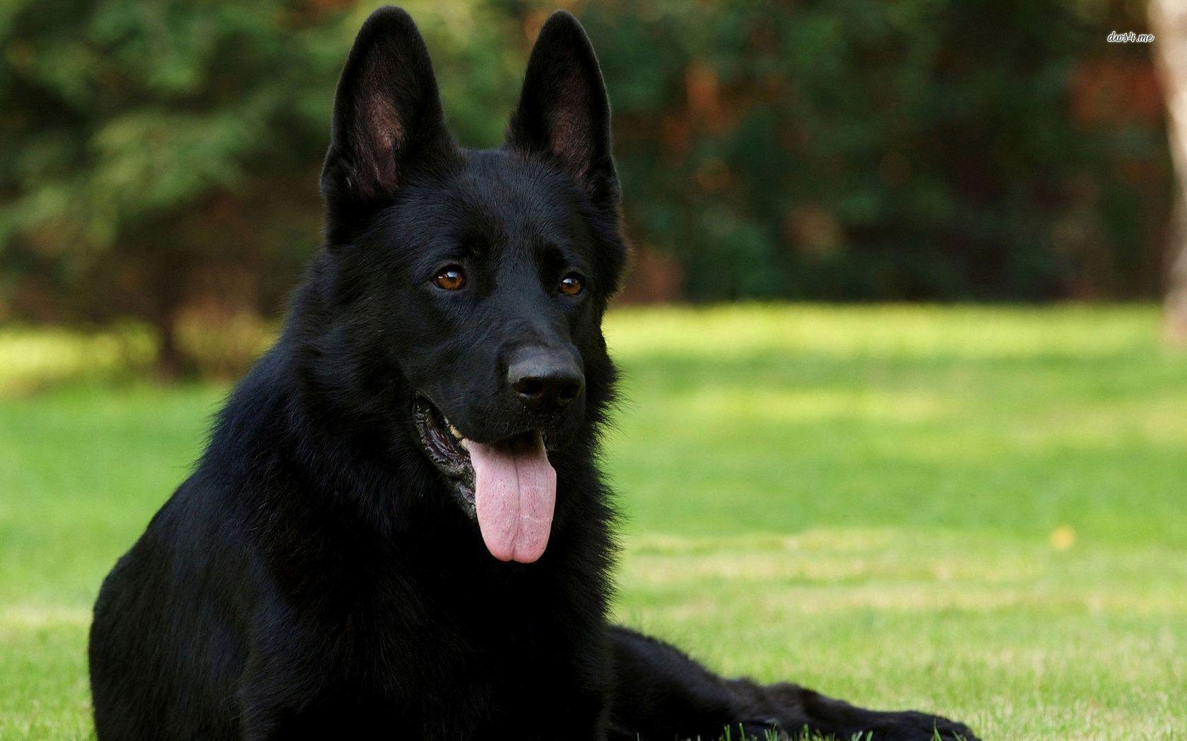 Fantastic Wallpaper Black Adorable Dog - Adorable-Black-German-Shepherd-Dog-Picture1  Photograph_48177  .jpg