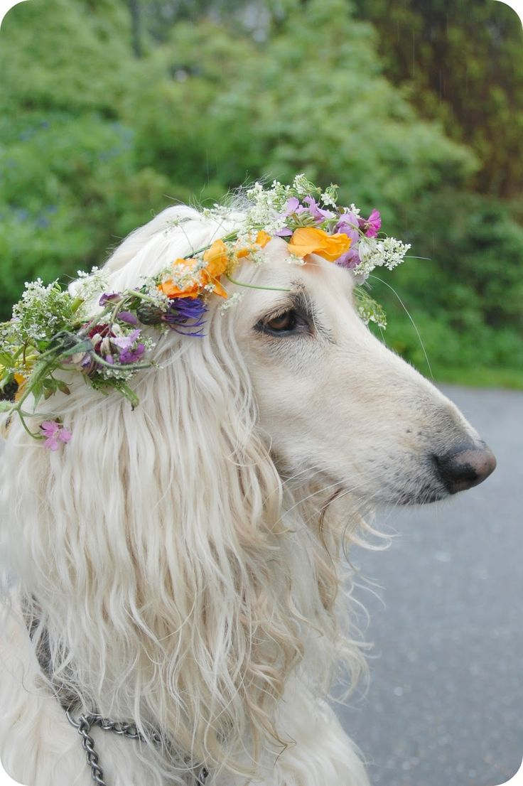 17 Very Beautiful Afghan Hound Pictures