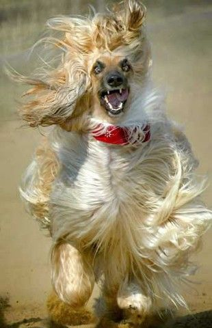 Angry Afghan Hound Dog Picture
