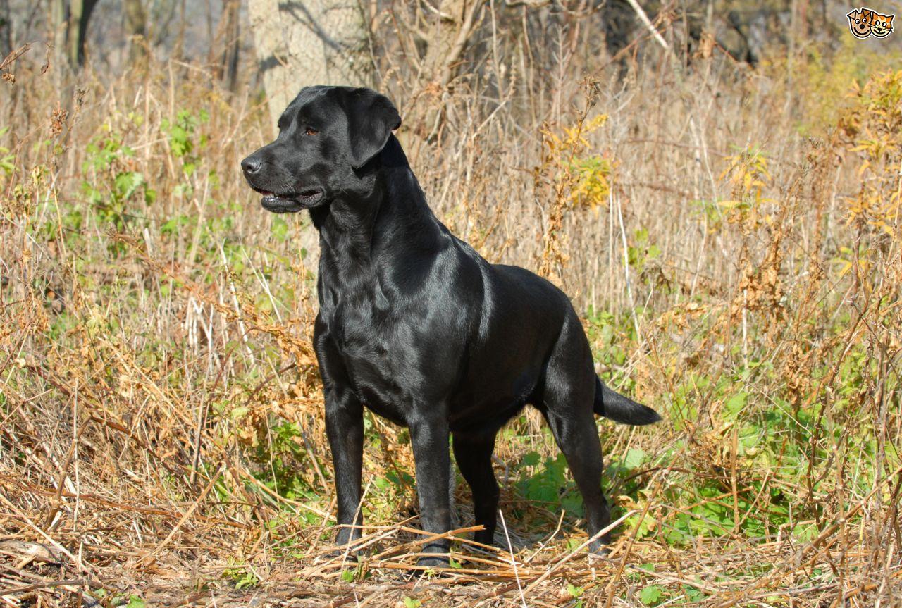 Dog Black