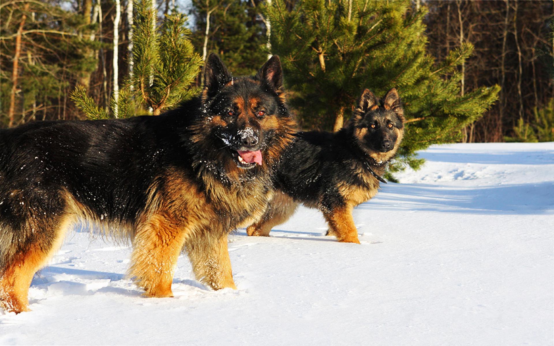 20 Beautiful Black And Brown German Shepherd Images