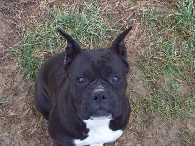36 wonderful black boxer dog images and photos