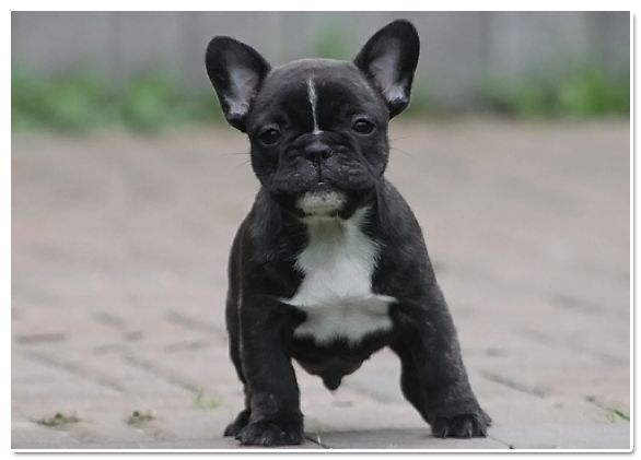 black bulldog puppy 50 very cute french bulldog puppy images and pictures 519