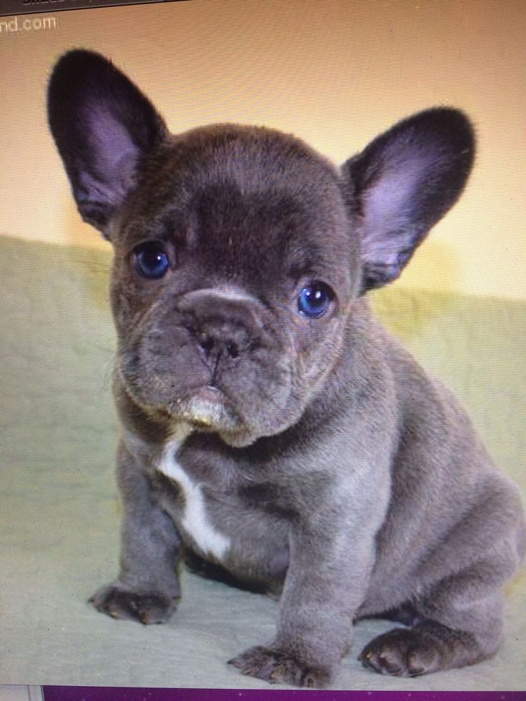 Blue And White French Bulldog Wallpaper French Bulldogs