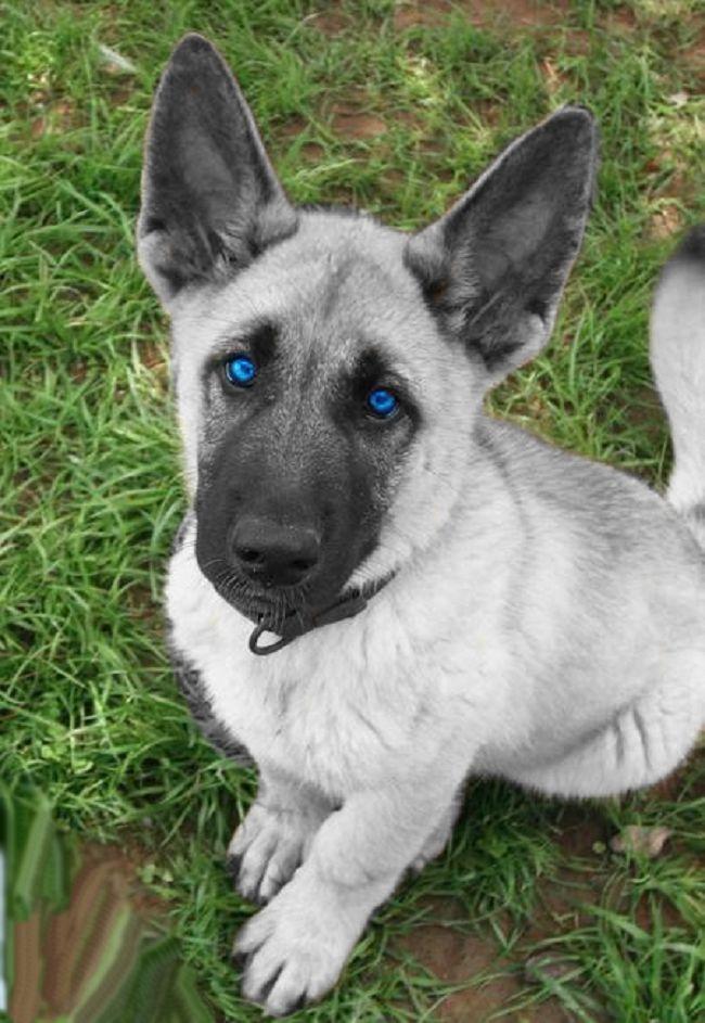 Amazing Grey Blue Eye Adorable Dog - Blue-Eyed-White-German-Shepherd-Dog-Picture  Photograph_412043  .jpg