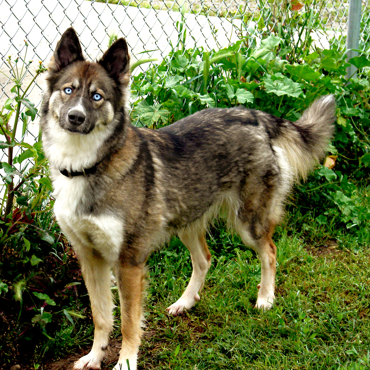 Husky Mixed With German Shepherd With Blue Eyes Images & Pictures ...