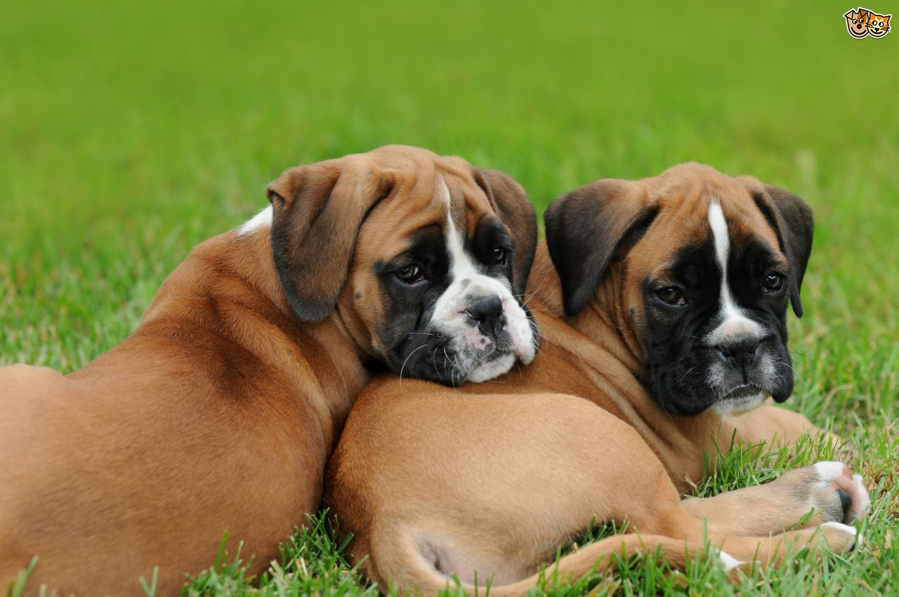 Boxer Dog Puppies Picture