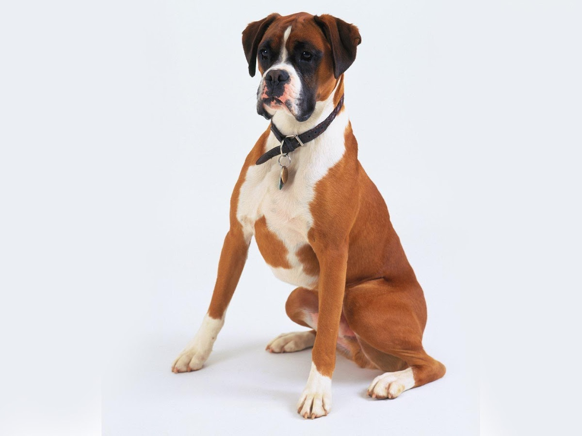 39 Beautiful Boxer Dog Pictures And Images
