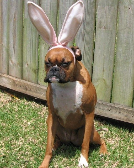 boxer dog with bunny years funny picture
