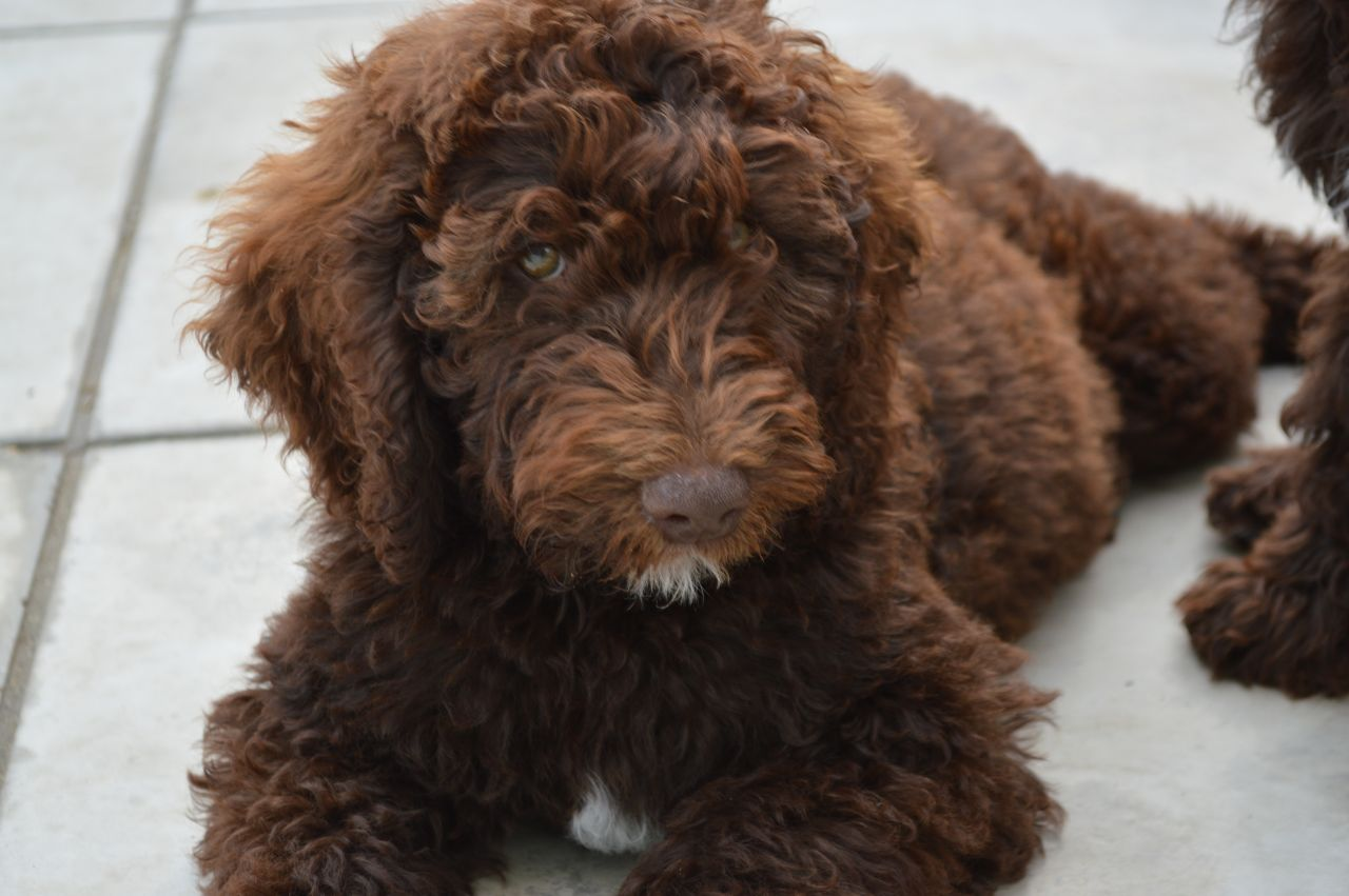 30 Best Brown Cockapoo Pictures And Images