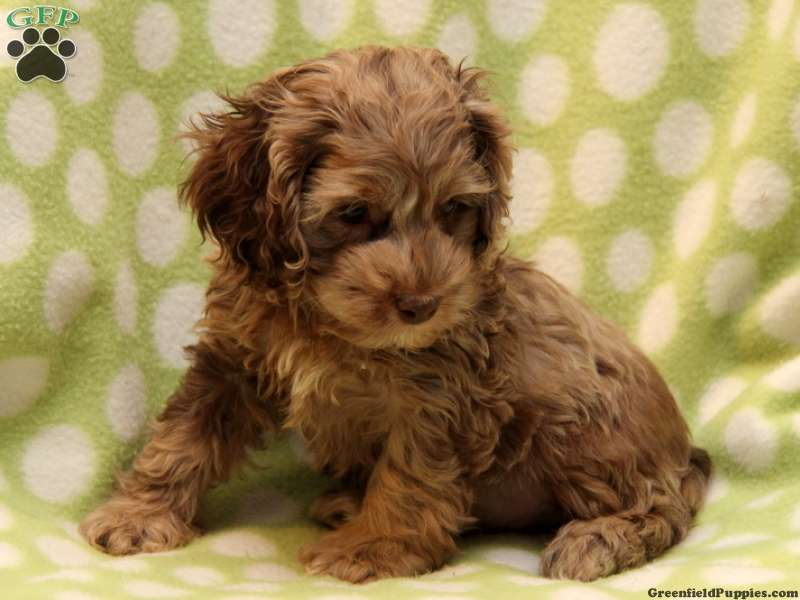 Chocolate And White Cockapoo Puppies For Sale
