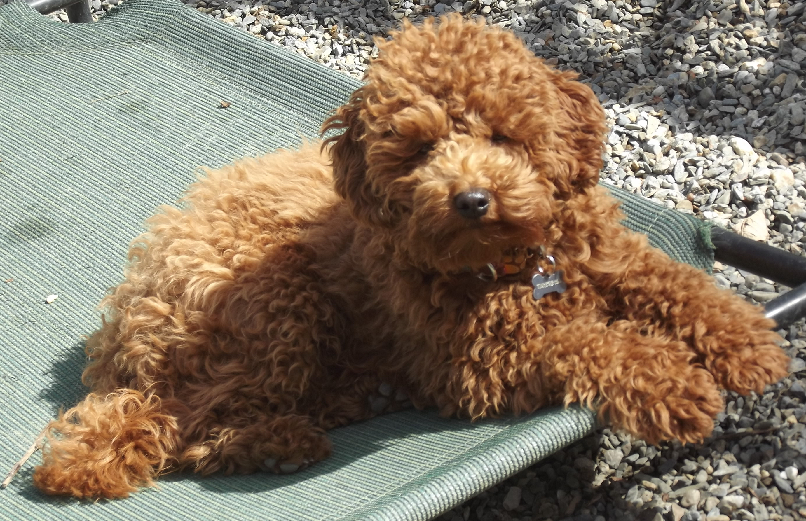 Cockapoo Dog Relaxing On Sunny Day