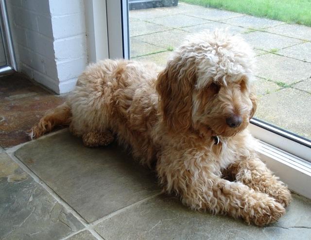 Cockapoo Dog Sitting Near Door